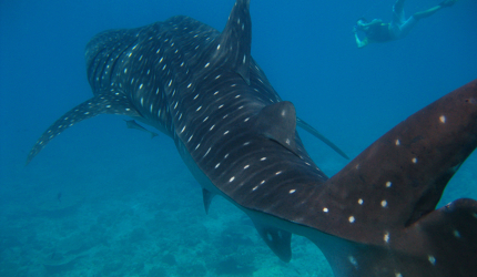 Whale_sharks_can_grow_up_to_14m_45ft_in_length_140820152521_o1Lvpl